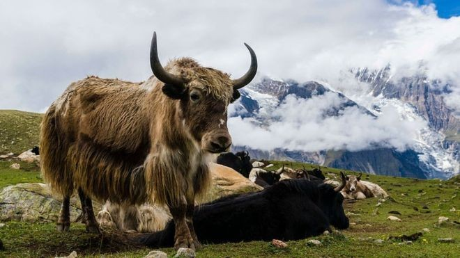 At least 300 Himalayan yaks starve to death in India